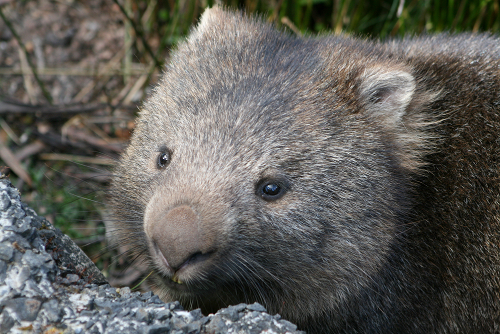 Not a giant wombat, just a regular one.